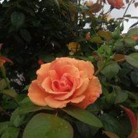 バラ,オレンジ,
